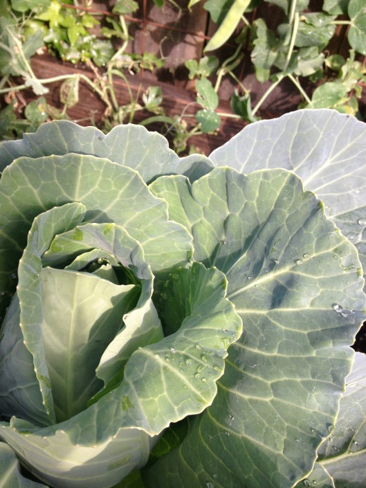 Cabbage 2013