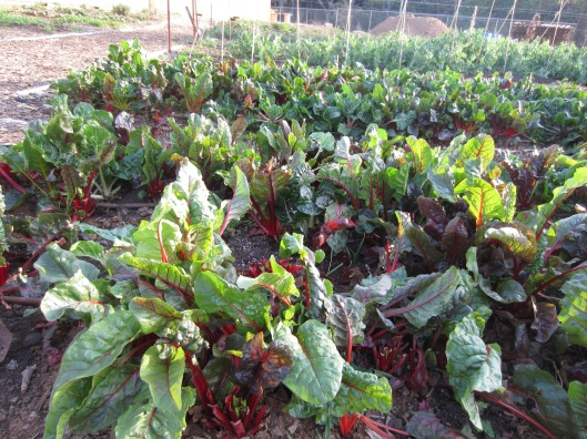 Muir Ranch Chard