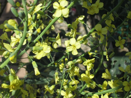 Broccoli Blooms