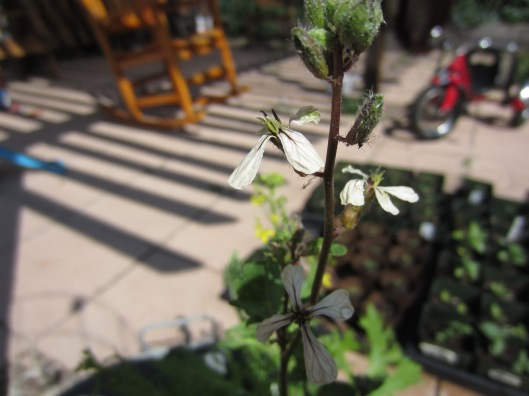 Arugula Blossom